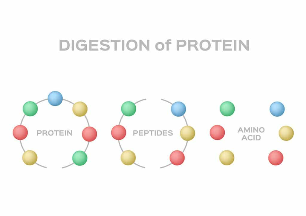 Graphic illustration showing digestion of protein